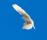 Le blanc a plongé en vol contre un ciel bleu Image libre de droits