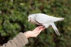 Le blanc a plongé (le domestica de colomba livia) Photos libres de droits
