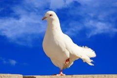 Le blanc a plongé sur un fond de ciel bleu Images stock