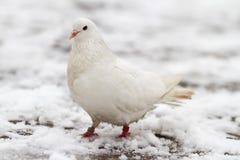 Le blanc a plongé sur une neige Image stock
