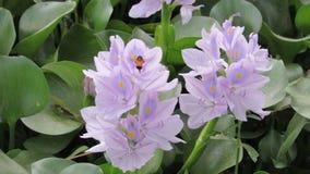 le blanc pourpre bleu de plante aquatique sauvage de fleur de jacinthe gren la couleur Photos libres de droits