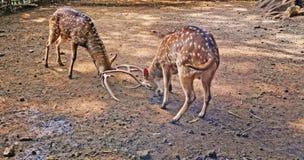 Le blanc repère des cerfs communs Image stock