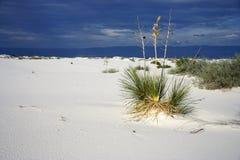 Le blanc sable la flore Photos libres de droits