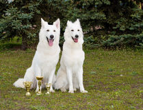 Le blanc Shepherds deux amis Photos stock