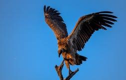 Le blanc a soutenu le vautour été perché en parc national de Kruger Images libres de droits