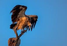 Le blanc a soutenu le vautour été perché en parc national de Kruger Image libre de droits