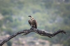 Le blanc a soutenu le vautour en parc national de Kruger, Afrique du Sud images libres de droits