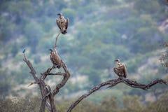Le blanc a soutenu le vautour en parc national de Kruger, Afrique du Sud photographie stock