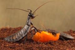 Le blatte del Madagascar del primo piano mangia la frutta arancio matura Immagini Stock