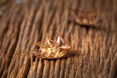 Le blatte sono morte sulla tavola di legno Fotografia Stock