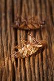 Le blatte sono morte sulla tavola di legno Fotografie Stock