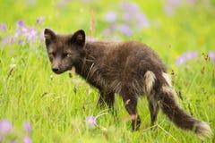 Le bleu adulte morph le renard arctique dans le pré avec des fleurs images libres de droits