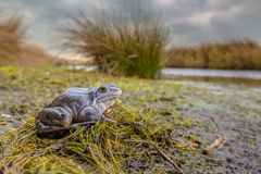 Le bleu amarrent la grenouille dans l'habitat d'élevage Image stock