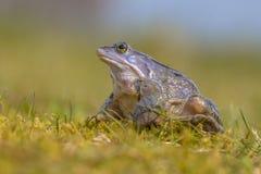 Le bleu amarrent la grenouille recherchant Photos libres de droits