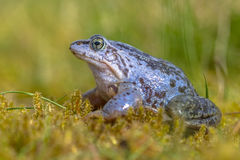 Le bleu amarrent la grenouille vue du côté Image libre de droits