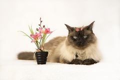 Le bleu espiègle mignon a observé le chaton siamois à côté des fleurs mises en pot de ressort Adoptez un animal familier, concept photo stock