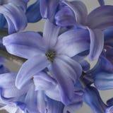 Le bleu fleurit le fond de jacinthes Photographie stock libre de droits
