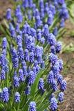 Le bleu fleurit le Muscari photo libre de droits