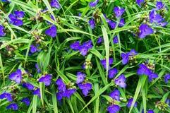 Le bleu fleurit le plan rapproché Images libres de droits