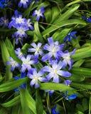 Le bleu fleurit le ressort magnifique Photo libre de droits