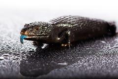 Le bleu noir a réprimandé le lézard dans l'environement brillant foncé humide Images stock