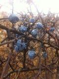 Le bleu porte des fruits nature Image libre de droits