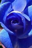 Le bleu s'est levé Image stock
