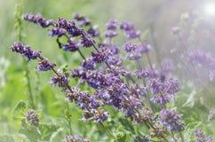 Le bleu violet fleurit des herbes dans le domaine Photographie stock libre de droits