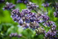 Le bleu violet fleurit des herbes dans le domaine Photo stock