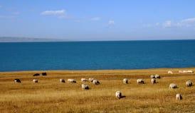 Le bleu voient avec des moutons Image libre de droits