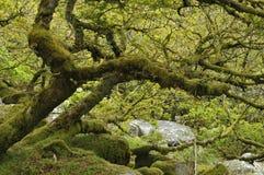 Le bois de Wistman Photo stock