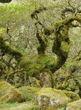 Le bois de Wistman Photos libres de droits