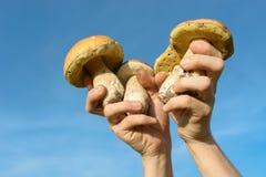 Le Bolete comestible répand (boletus edulis) porcini dans des mains sur le fond de ciel bleu Photo libre de droits