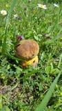Le boletus de champignon s'est caché dans l'herbe verte, ensoleillée Images libres de droits
