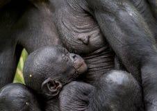 Le bonobo de chimpanzé de petit animal de sommeil (paniscus de casserole) sur un sein de la mère de soins Haut proche de vertical Photo libre de droits