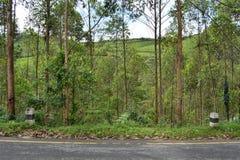 Le bord de la route a incliné forêt d'arbre, montagne de jardin de thé Photos stock