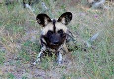Le Botswana : Les chiens sauvages sont les chasseurs dangereux avec les dents pointues photo stock