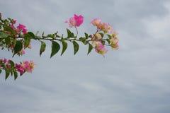 Le bouganvilla de papier de Flower Image libre de droits