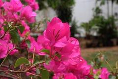 Le bouganvilla de papier de Flower Photographie stock