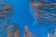 Le bouleau blanc complète des arbres de bouleau contre Photographie stock libre de droits