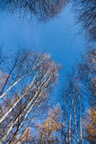 Le bouleau blanc complète des arbres de bouleau contre du ciel Image libre de droits