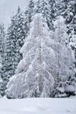 le bouleau a couvert des arbres de neige Photo stock