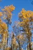 Le bouleau d'or part sur le fond vibrant de ciel bleu en automne photo stock