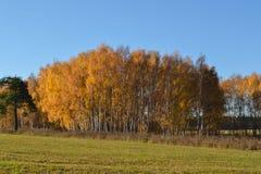 Le bouleau d'or part sur le fond vibrant de ciel bleu en automne photos stock