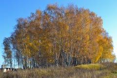 Le bouleau d'or part sur le fond vibrant de ciel bleu en automne image stock