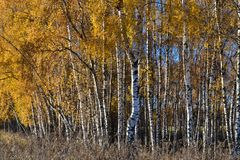 Le bouleau d'or part sur le fond vibrant de ciel bleu en automne photographie stock