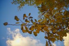 Le bouleau jaune d'automne pousse des feuilles plan rapproché image libre de droits