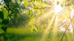 Le bouleau laisse rétro-éclairé dans la lumière de jour, avec l'espace de copie photographie stock libre de droits
