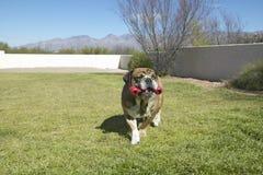 Le bouledogue anglais avec l'os rouge a appelé Luka jouant dans l'arrière cour dans Tucson, AZ Image libre de droits
