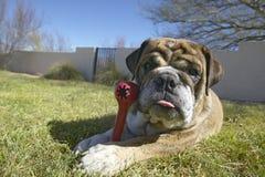 Le bouledogue anglais avec l'os rouge a appelé Luka jouant dans l'arrière cour dans Tucson, AZ Photo libre de droits